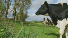 Profile of Holstein cow in slow motion Stock Footage