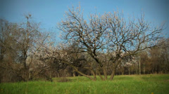 Apricot Tree Flowers in the Meadow. 2 Footage Stock Footage