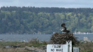 Stock Video Footage of Osprey, Pair, Birds, Nest, Mate, Couple, Home, 4K, UHD