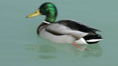 4K Dabbling Ducks Drake 2 Stock Footage