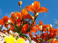 Blooming lilies lilium sp gardenbed low angle shot Stock Photos