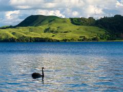 Lake okatania nz black swan cygnus atratus Stock Photos