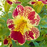 Red yellow pansy viola tricolor blossom flowering Stock Photos