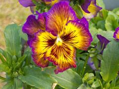värikäs orvokki viola tricolor kukkien kukinnan - stock photo