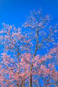 beautiful cherry blossom against blue sky - stock photo