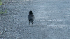 Crow, Walk, Pace, Walking, 4K, UHD Stock Footage