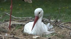 4K European White Stork on her Nest 1 Stock Footage