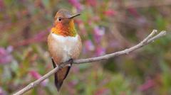 Rufous Hummingbird - stock footage