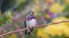Calliope Hummingbird Stock Footage