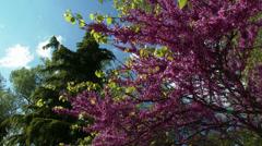 4K Lilac Tree and Deodar Cedar 1 Stock Footage