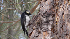 Acorn Woodpecker Stock Footage