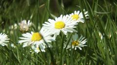 4K Meadow Margaret Flower Marguerite Leucanthemum Vulgare Chrysanthemum Leuca Stock Footage