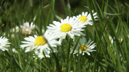 Stock Video Footage of 4K Meadow Margaret Flower Marguerite Leucanthemum Vulgare Chrysanthemum Leuca