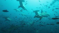 Large school of hammerhead sharks approach from the blue Stock Footage