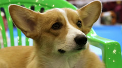Welsh Corgi Pembroke. Hound bred in Wales Stock Footage