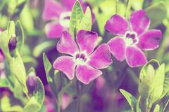 Violet flowers background or backdrop Stock Photos