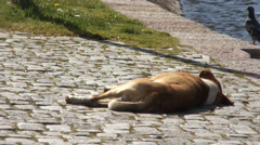Dog sleeping Stock Footage