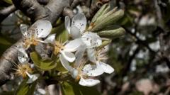 Flower pear - stock footage