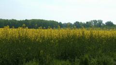 4K Rapeseed Field Brassica Napus 3 - stock footage