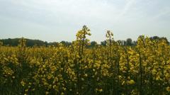 4K Rapeseed Field Brassica Napus 4 - stock footage
