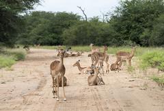 impalas on the road - stock photo