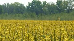 4K Rapeseed Field Brassica Napus 6 - stock footage