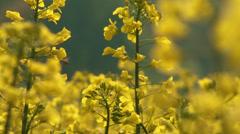 4K Rapeseed Field Brassica Napus 8 - stock footage