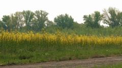 4K Rapeseed Field Brassica Napus 10 pan - stock footage
