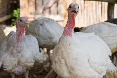 Stock Photo of White turkeys feeding in a barnyard