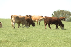 Cattle, herd on the field SD-06 - stock footage