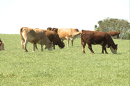 Stock Video Footage of Cattle, herd on the field SD-06