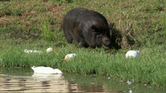 Large black pot-bellied pig Stock Footage