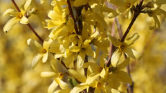 Close up of blossoming forsythia twigs. - stock footage