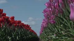 Oregon Wooden Shoe Tulip Festival 2014 Stock Footage