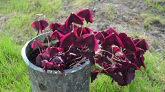 House plant burgundy claret dark butterfly shape leaf retro pot Stock Footage