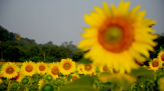 Sunflower plantation field Stock Footage