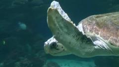 Hawksbill Sea Turtle - Eretmochelys imbricata Stock Footage