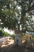 Zaccheus Sycamore Tree in Jericho Stock Photos