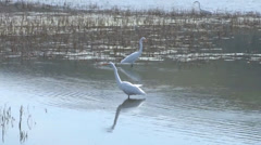 Great Egret Stock Footage