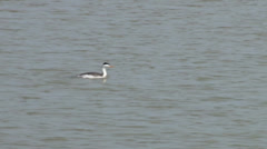 Clark's Grebe Stock Footage