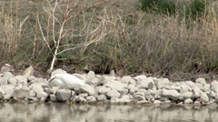 Snowy Egret Stock Footage
