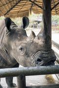 Huge head of black rhino - stock photo