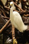 snowy egret (egretta thula), rosario archipelago, cartagena de indias, colomb - stock photo