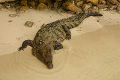 Animals in wild. crocodile basking in the sun,colombia Stock Photos