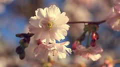 Cherry blossoms with retro filter effect Stock Footage