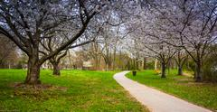 cherry blossoms along a path at wilde lake park in columbia, maryland. - stock photo