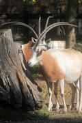 Oryx gemsbok Stock Photos