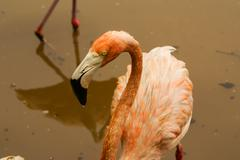 the american subspecies of caribbean flamingo (phoenicopterus ruber ruber) - stock photo