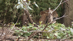 Jaguar a Spotted Jungle Cat and Carnivore Stock Footage