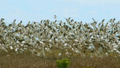 Huge Flock of Arctic Geese Fly Away in Slow Motion - stock footage